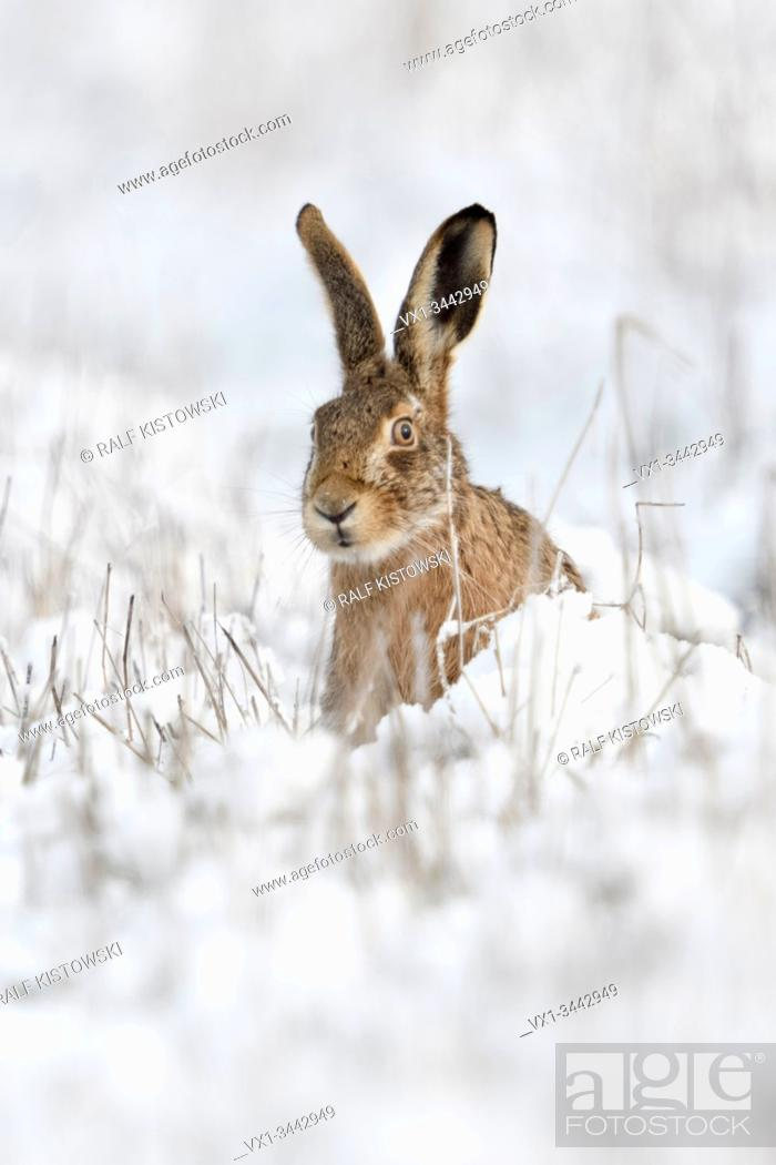 Stock Photo: Brown Hare / European Hare / Feldhase ( Lepus europaeus ) in winter, sitting in snow, watching curious, looks funny, wildlife, Europe.