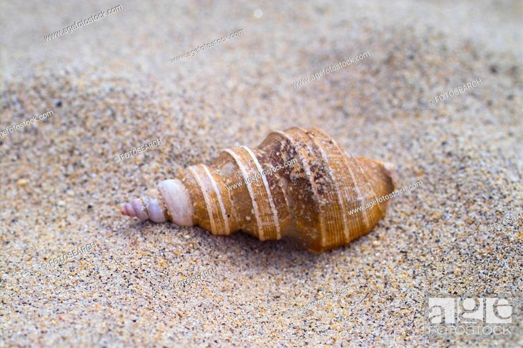 Stock Photo: mollucca, animal, mollusc, mollusks, mollusk, shell, sand.