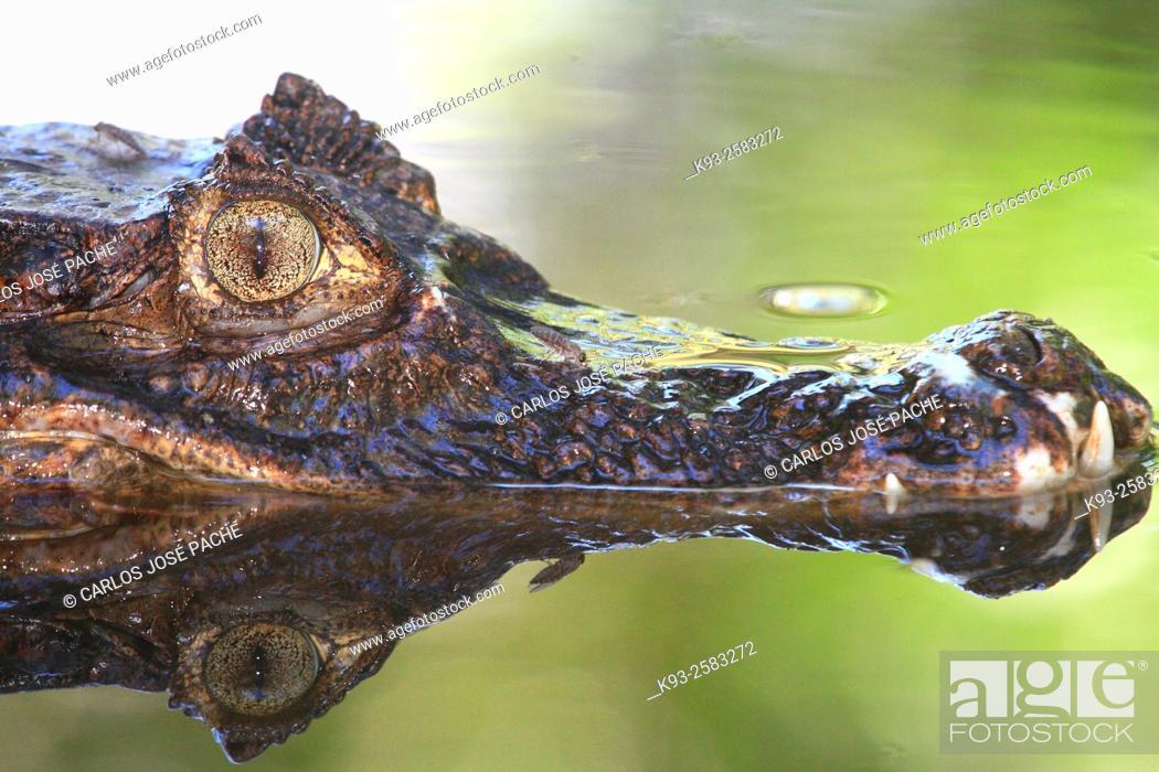 Imagen: Un caiman (Caiman crocodilus). Parque Nacional de Corcovado, Peninsula de Osa, Costa rica.