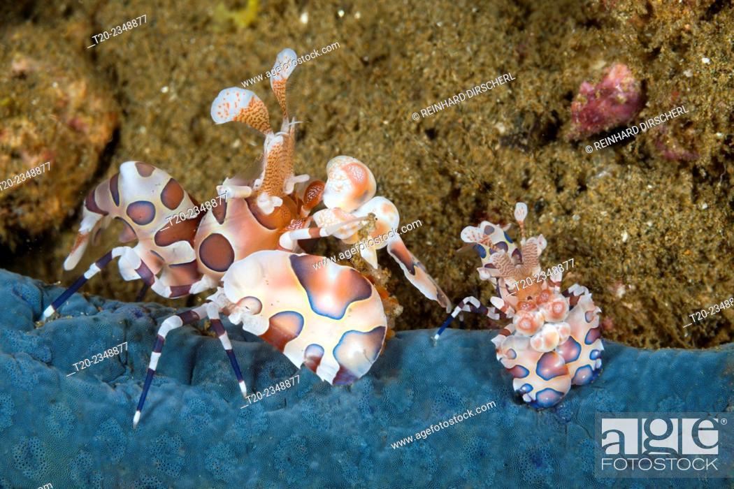 Photo de stock: Pair of Harlequin Shrimp, Hymenocera elegans, Ambon, Moluccas, Indonesia.