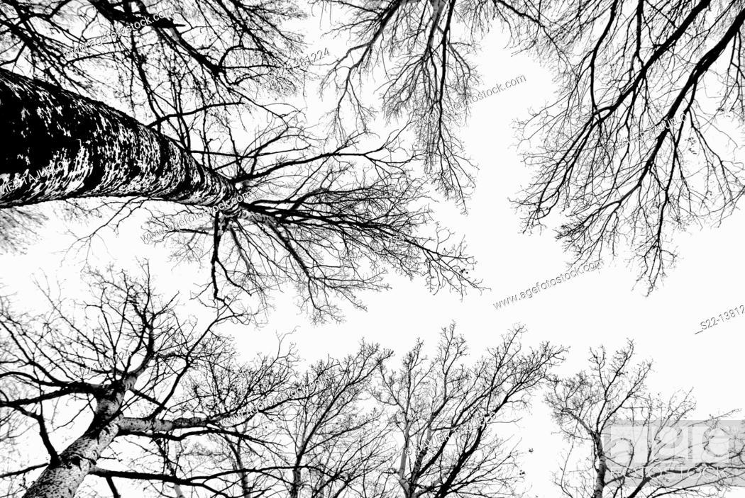 Stock Photo: Poplar grove. White Poplars (Populus alba). Toledo province, Castile-La Mancha, Spain.