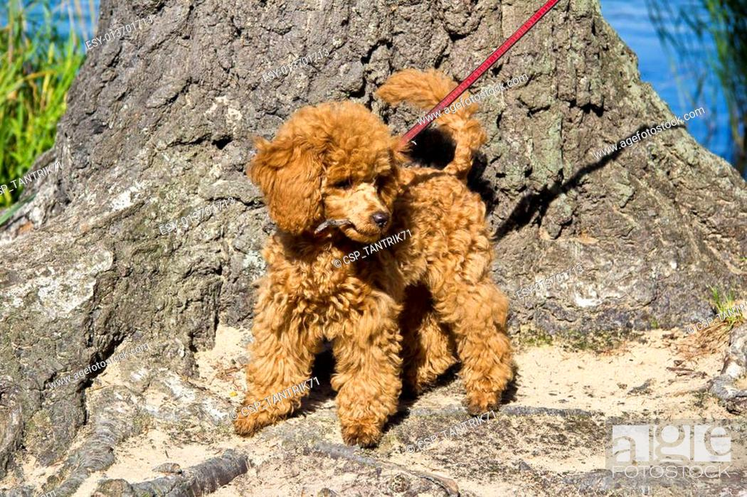 Walking Red Poodle Puppy Stock Photo Picture And Low Budget Royalty Free Image Pic Esy 013701713 Agefotostock