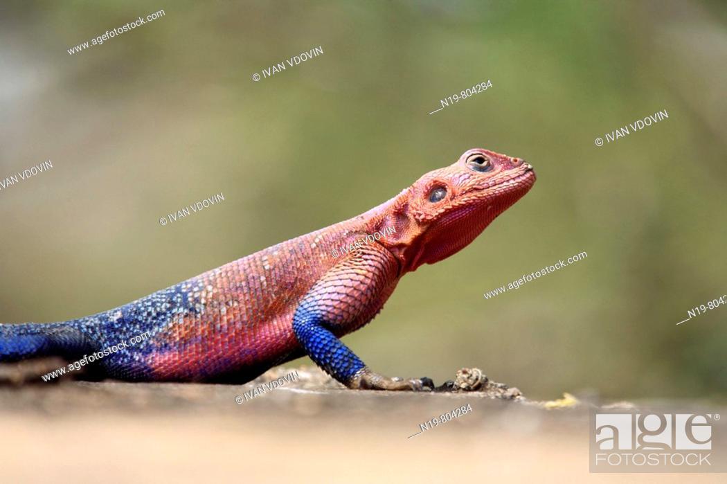 Stock Photo: Agama Lizard, Serengeti, Tanzania.