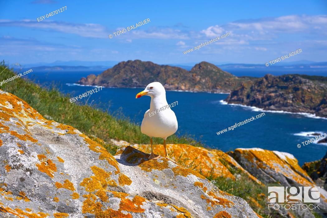 Stock Photo: Islas Cies islands seagull sea gull bird in Galicia at Spain.