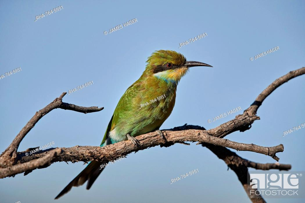 Stock Photo: Swallow-tailed bee-eater (Merops hirundineus), Kgalagadi Transfrontier Park, South Africa, Africa.
