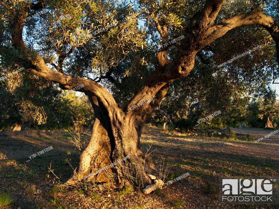 Stock Photo: Olive tree. Tarragona province.Catalonia.Spain.