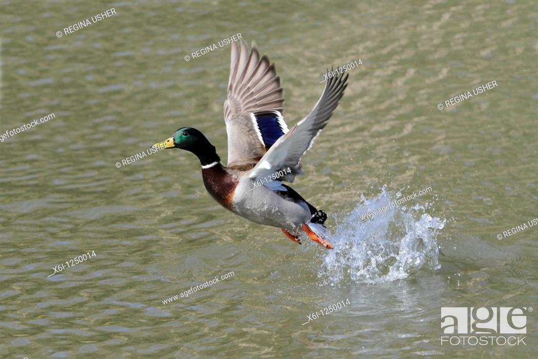 Stock Photo: Mallard Anas platyrhynchos, drake in flight taking off from lake, Germany.