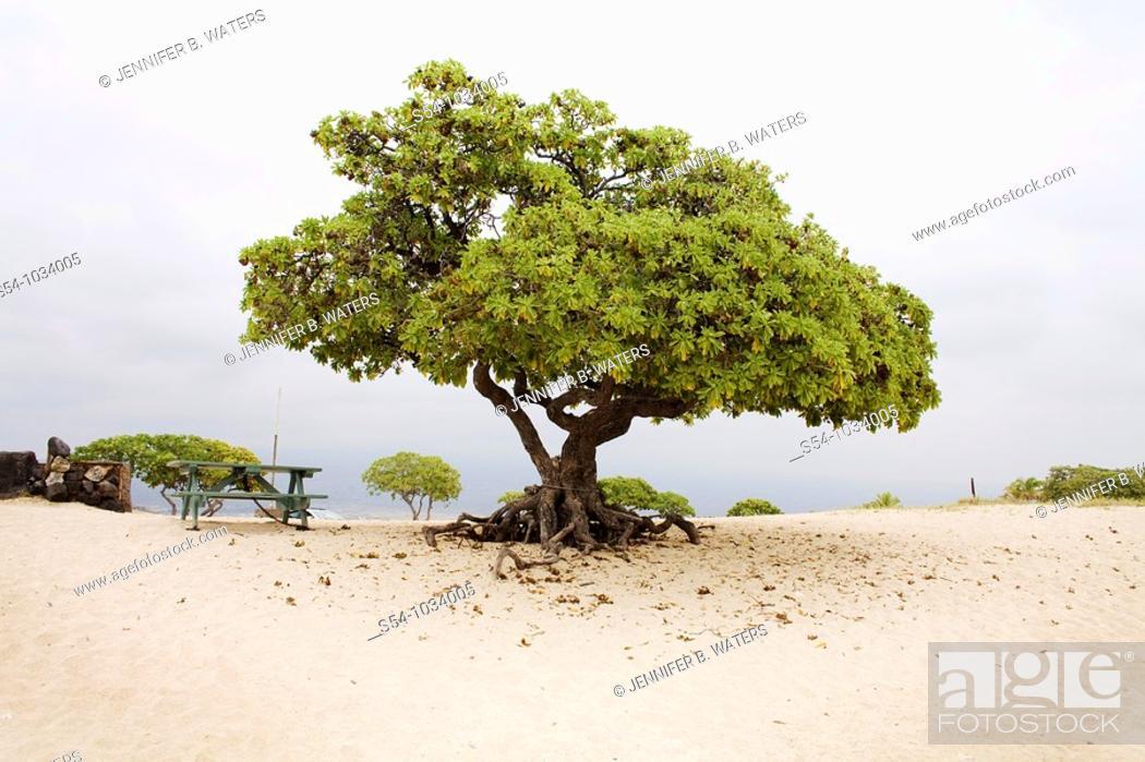 Stock Photo: Lone tree at the beach on the Big Island, Hawaii.