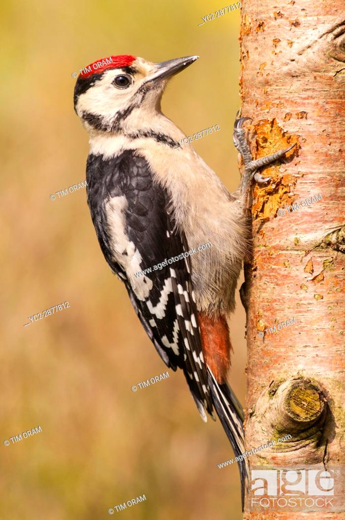 Stock Photo: A Great Spotted Woodpecker (Dendrocopos major) on a tree in the uk.