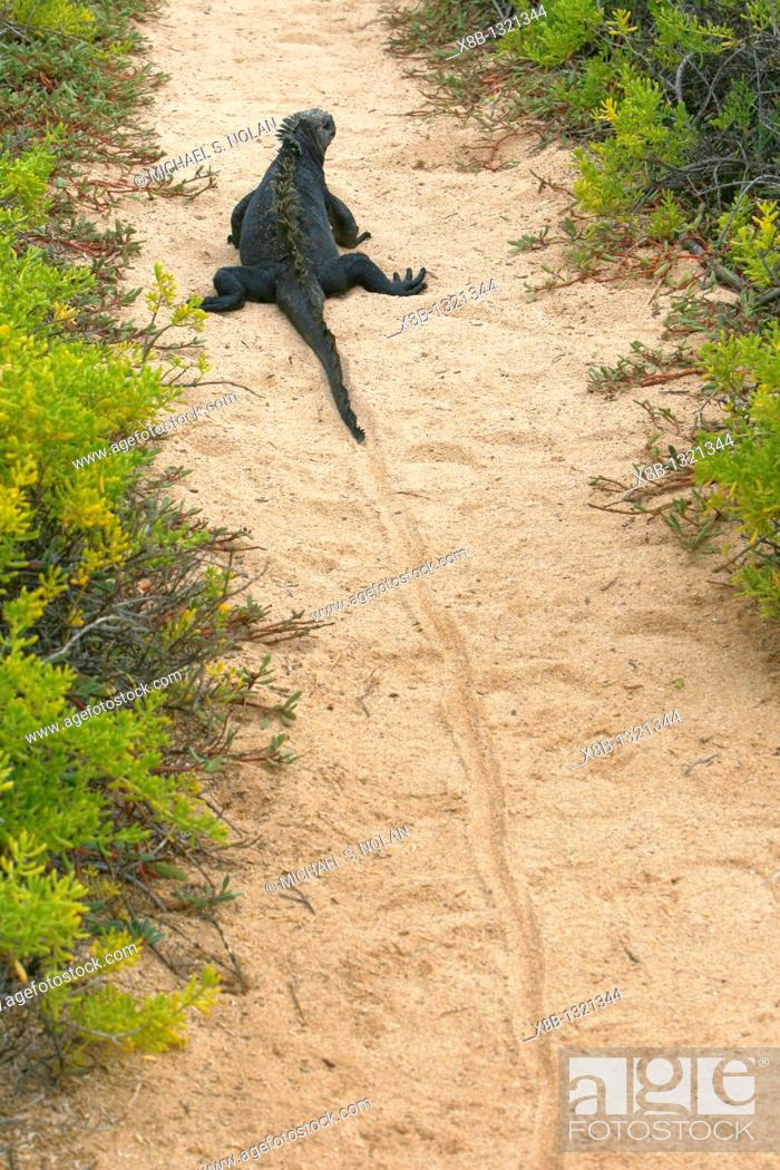 Stock Photo: The endemic marine iguana Amblyrhynchus cristatus showing trail left by the weight of its tail in the Galapagos Island Group.