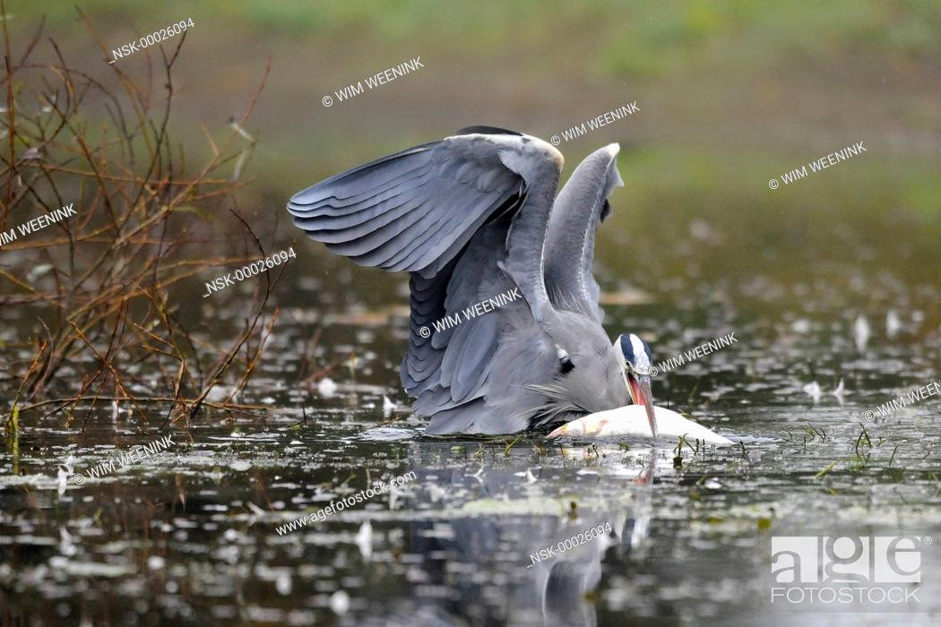 Imagen: Grey Heron (Ardea cinerea) in the water with a large caught fish, The Netherlands.
