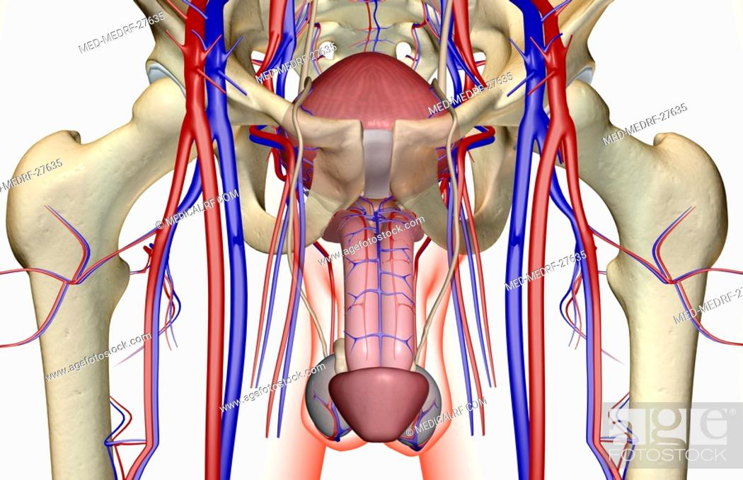 Stock Photo: The blood supply of the male reproductive organs.