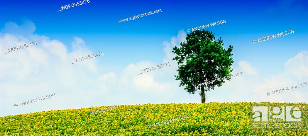 Stock Photo: Lone tree in a field of sunflowers in the Cotes de Duras, Lot et Garonne, Aquitaine, France.