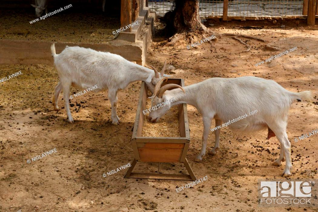 Stock Photo: View of goats with white willow living in cage in natural park.