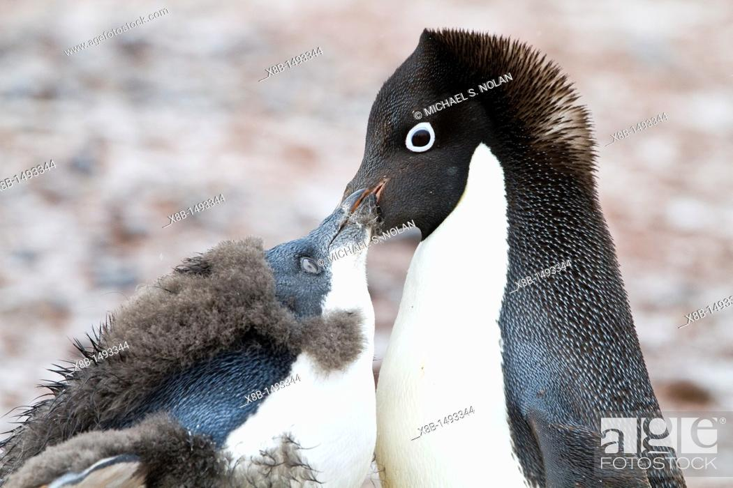 Imagen: Adélie penguin Pygoscelis adeliae adult feeding chick at breeding colony at Brown Bluff on the eastern side of the Antarctic Peninsula.