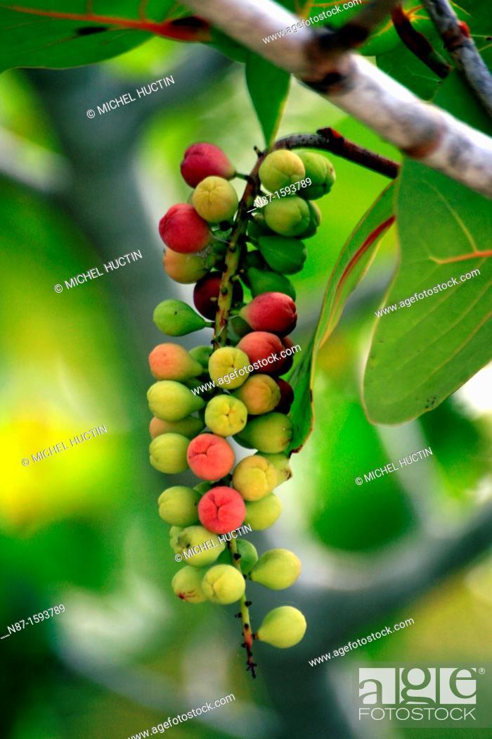 Stock Photo: raisinier seaside, family Polygonaceae.