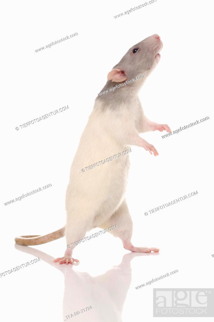 Stock Photo: dumbo rat.
