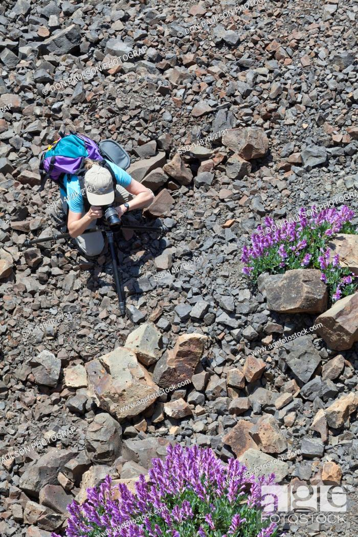 Stock Photo: USA, Oregon, Columbia River Gorge, Historic Columbia River Highway from Mosier to Hood River, Woman photographing flowers.