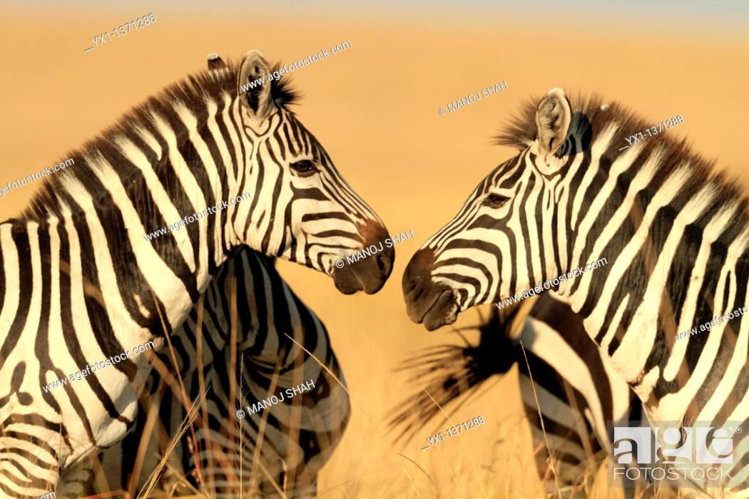 Stock Photo: Zebras engage in mutual grooming after the feeding has been done  Nibbling of hair on each other's neck and back, touching noses and braying is thought to.