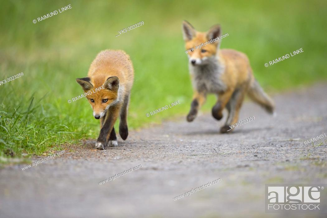 Stock Photo: Red Fox, vulpes vulpes, Two Young Foxes, Germany, Europe.