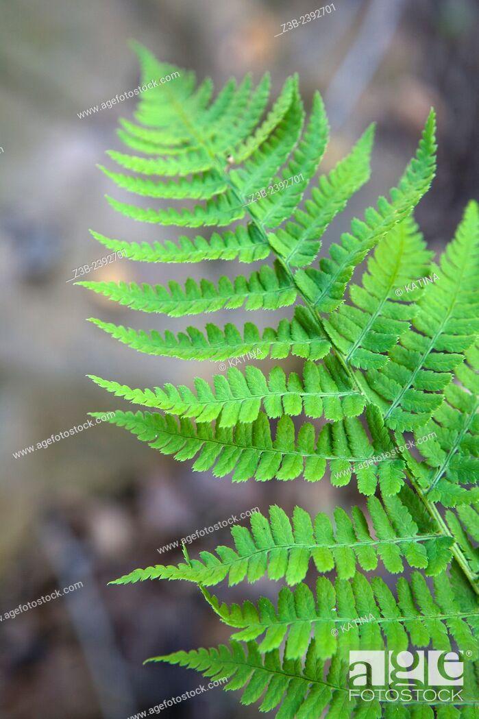 Imagen: Dryopteris arguta, (Common name: southern wood fern), at the Santa Barbara Botanic Garden; Santa Barbara; Santa Barbara County; California; CA; USA.