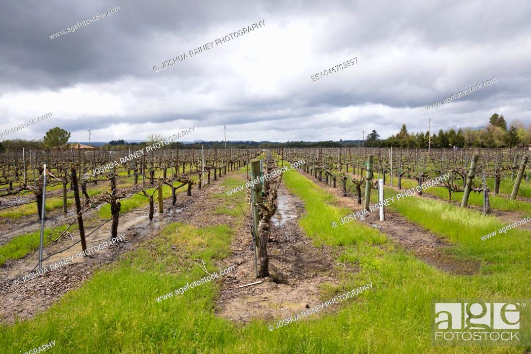 Stock Photo: Flooded vineyard with standing water on the ground next to the grape vines and cloudy rain clouds above in Sonoma Valley California.