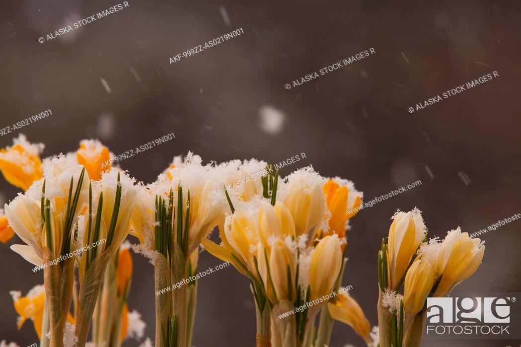Stock Photo: Close up of white and yellow crocus flowers growing outside in falling snow, Kodiak, Southwest Alaska, Winter.