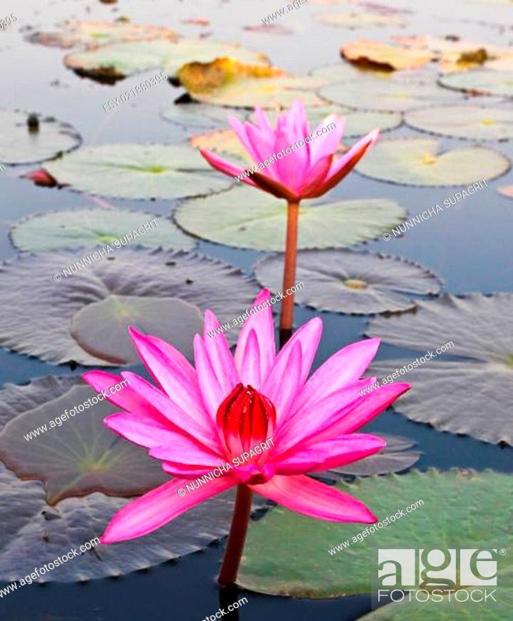 Stock Photo: Pink lotus in lake.