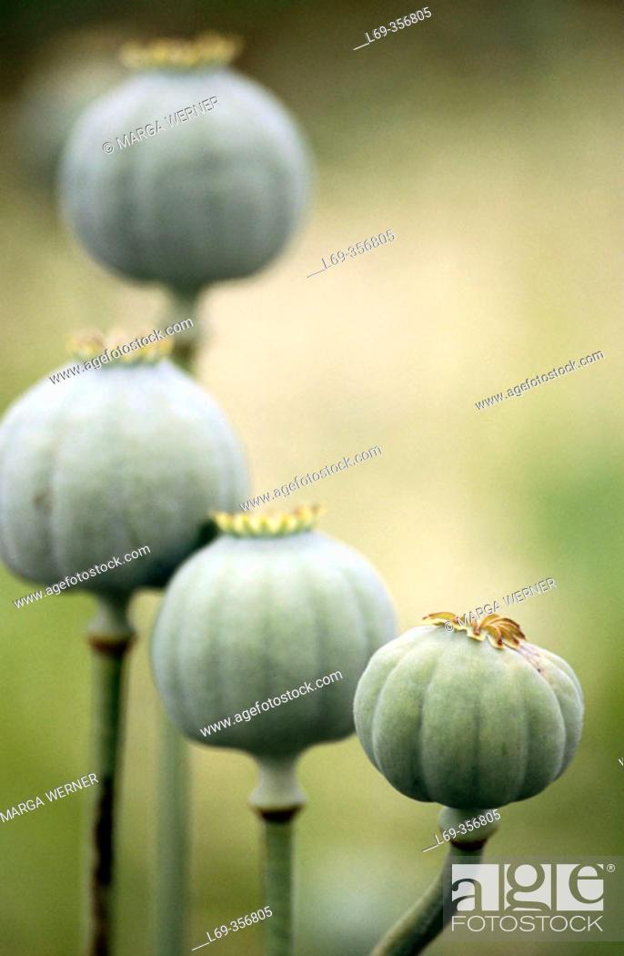 Stock Photo: Opium Poppy (Papaver somniferum). Austria.