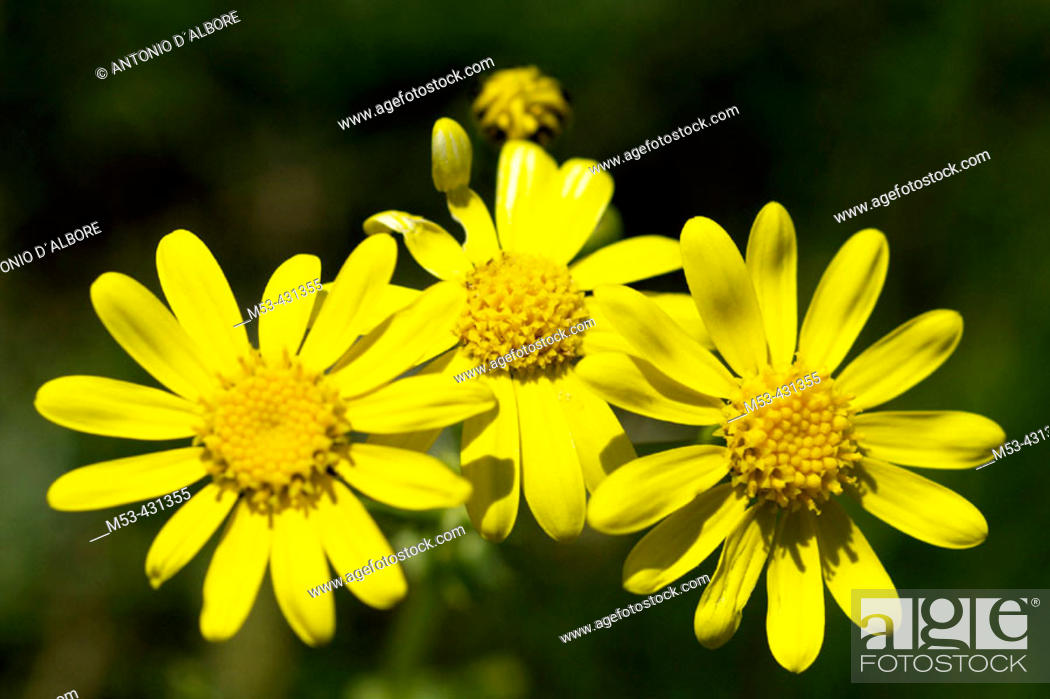 Stock Photo: Flowers of Coleostephus. Parco Nazionale d'Abruzzo. Abruzzo. Italy.