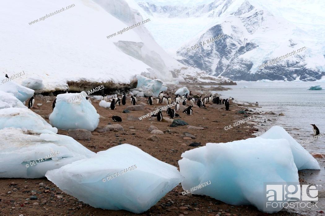 Imagen: Gentoo penguins (Pygoscelis papua), Neko Harbour, Antarctica.