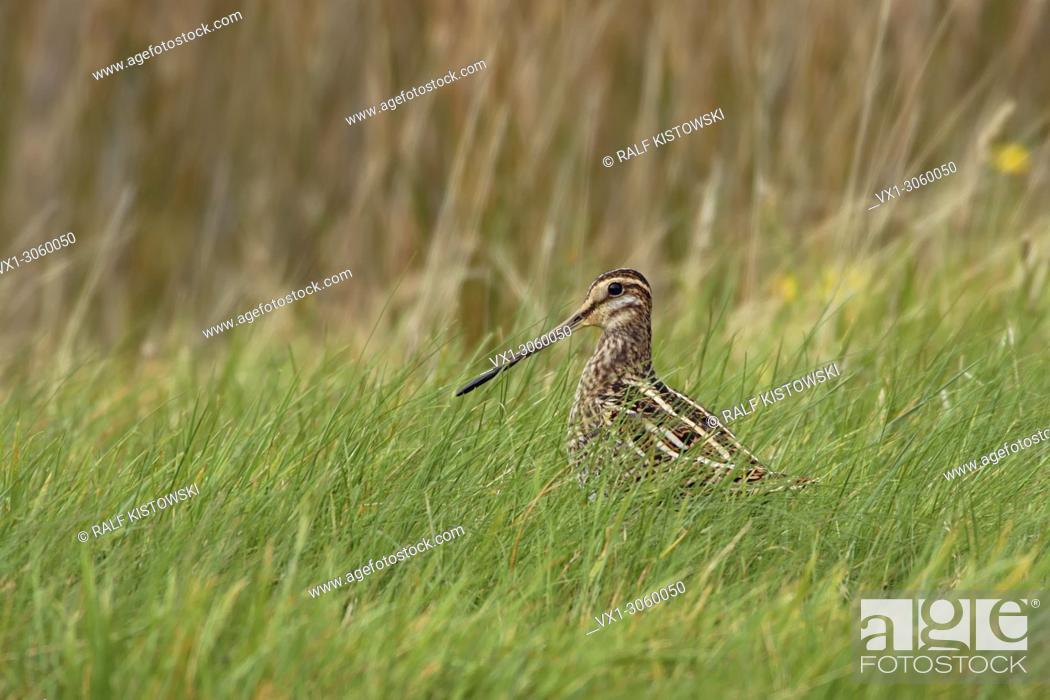 Imagen: Common Snipe ( Gallinago gallinago ) sitting in grass of a wet meadow, in its typical habitat, nice side view, wildlife, Europe.