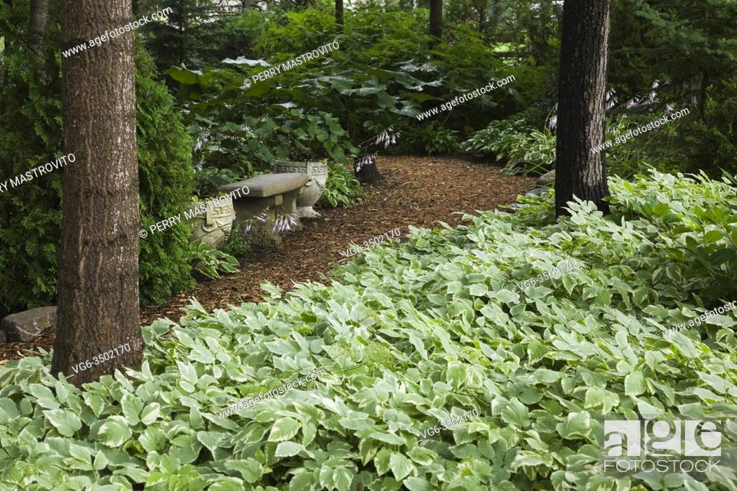 Stock Photo: Concrete sitting bench and planters on cedar mulch path bordered by Thuja occidentalis - Cedar tree, mauve flowering Hostas.
