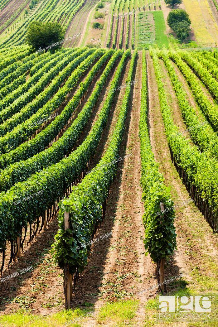 Stock Photo: vineyard called Noviny near Cejkovice, Czech Republic.