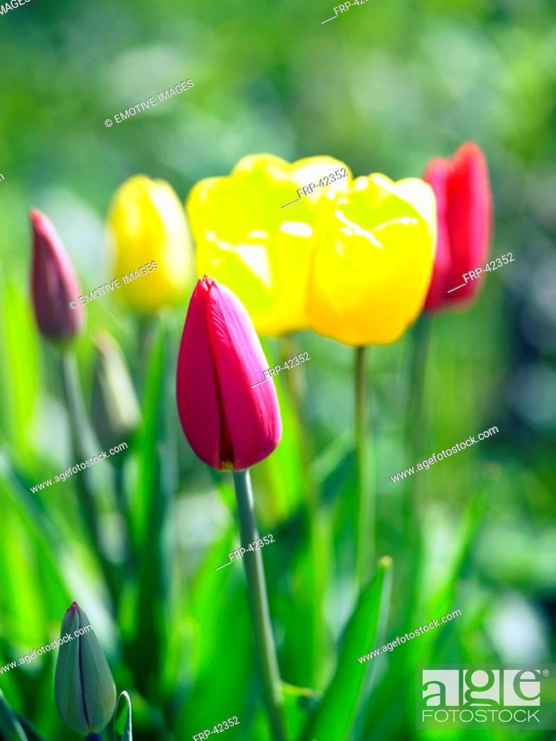 Stock Photo: red an yellow tulips.