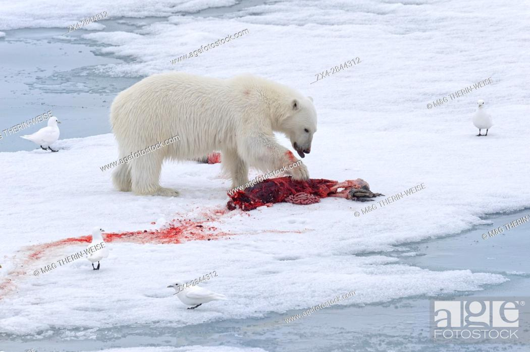 Stock Photo: Female Polar bear (Ursus maritimus) with prey on pack ice, Svalbard Archipelago, Barents Sea, Norway, Arctic, Europe.