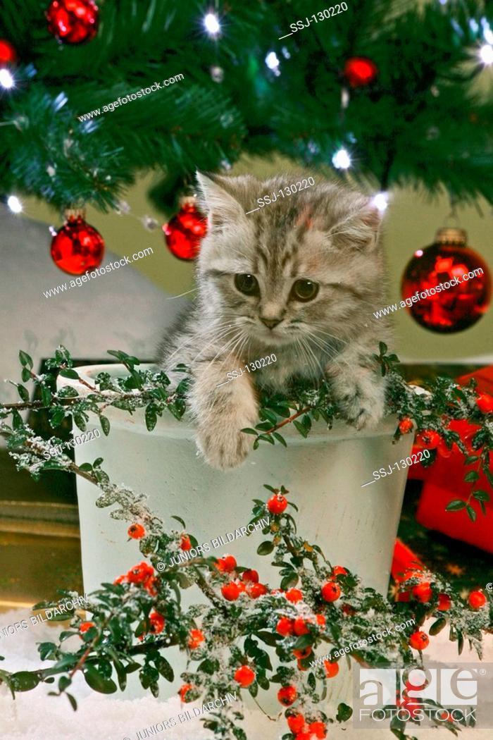 Stock Photo: British Shorthair kitten - in flowerpot.