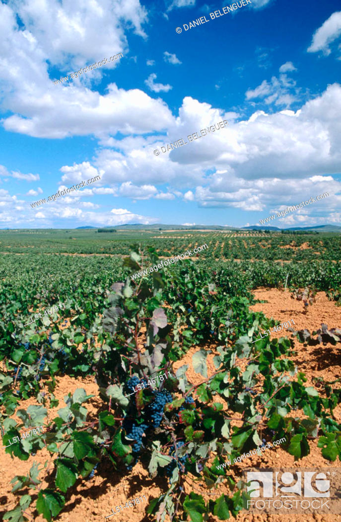 Stock Photo: Vineyards. Villagordo del Cabriel. Plana Requena. Utiel. Valencia province. Spain.