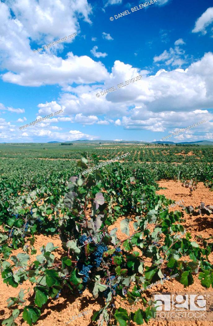 Stock Photo: Vineyards. Villagordo del Cabriel. Plana Requena. Utiel. Valencia province. Spain.