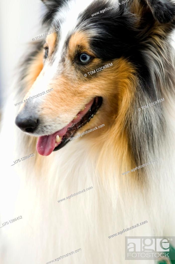 Stock Photo: collie dog, Royal Melbourne Show, Flemington, Melbourne, Australia.