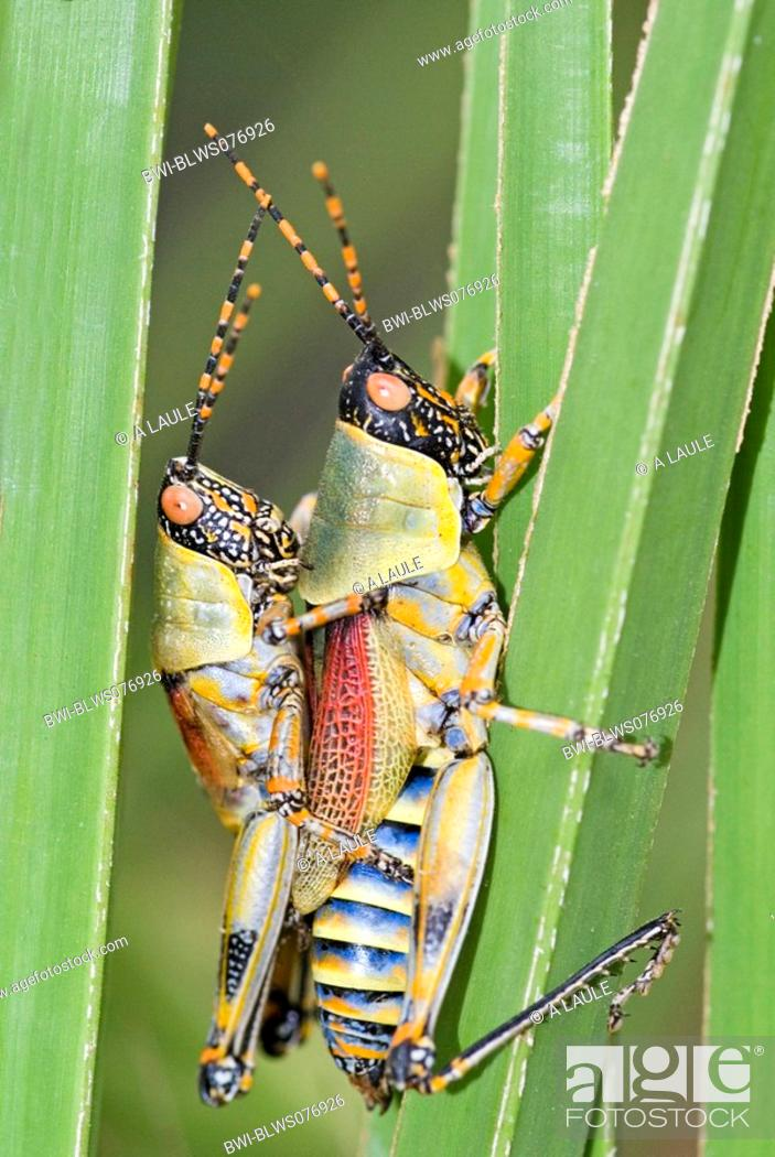 Stock Photo: gaudy grasshoppers Pyrgomorphidae, mating, South Africa.