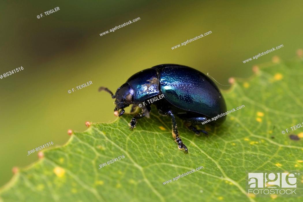 Stock Photo: Leaf Beetle (Chrysolina coerulans), on a leaf, Germany.