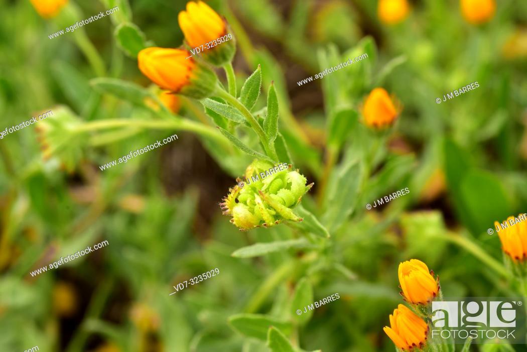 Stock Photo: Field marigold (Calendula arvensis) is an annual or biennial herb native to Mediterranean Basin. Fruits detail. This photo was taken in Alt Emporda.