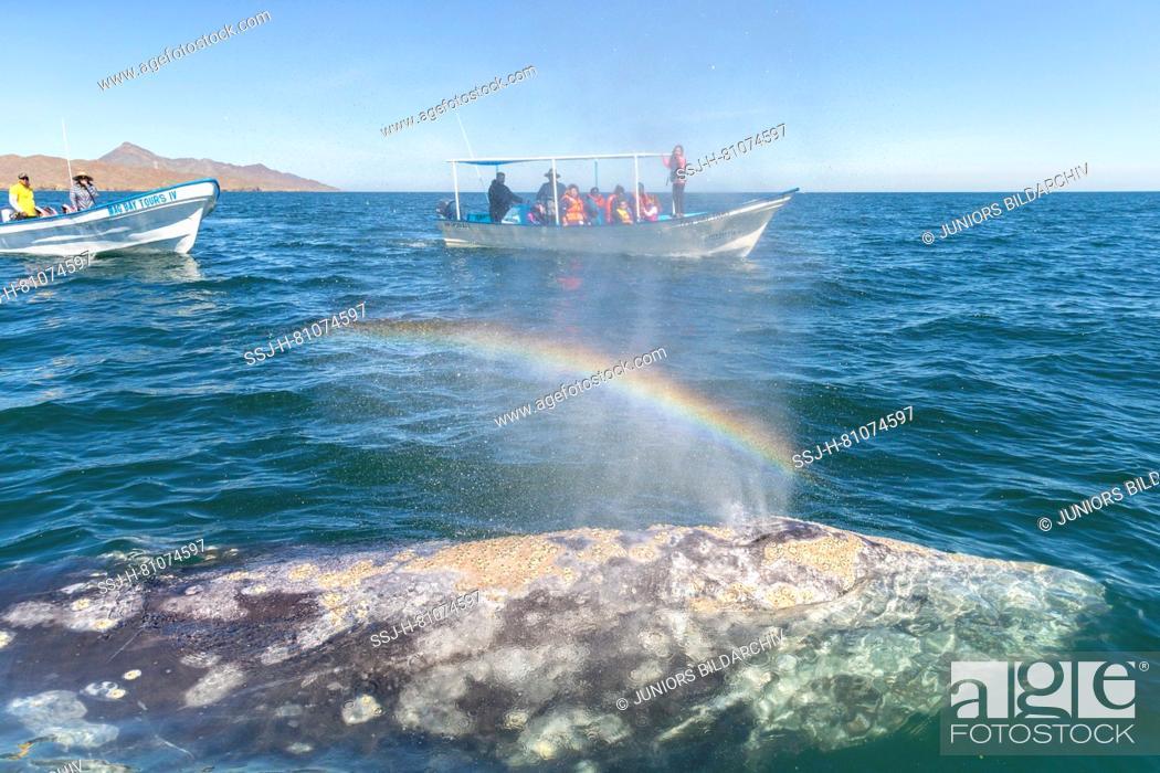Stock Photo: Tourists looking at Gray Whale (Eschrichtius robustus), Baja California, Mexico.