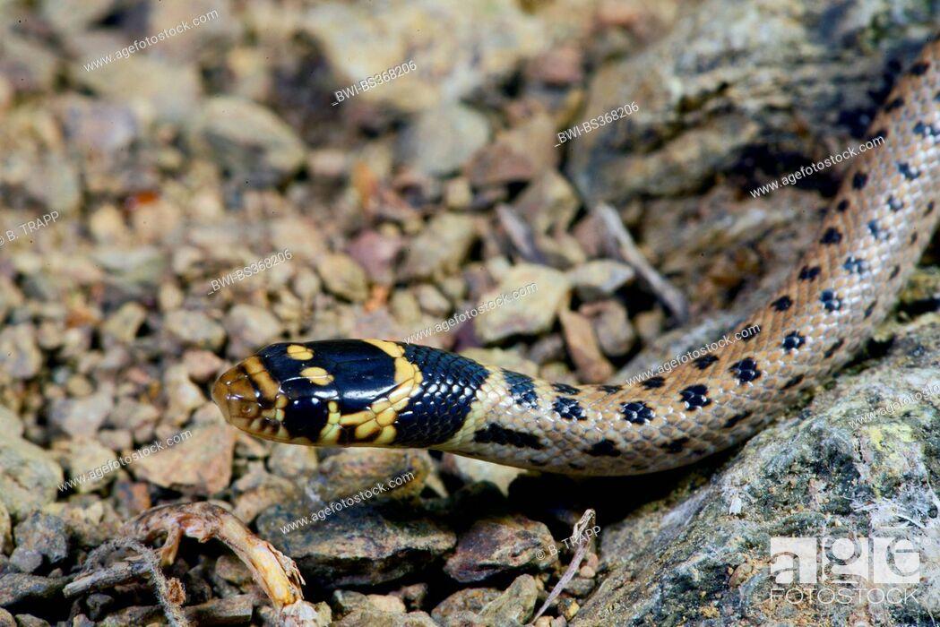 Imagen: Asia Minor dwarf snake (Eirenis modestus), juvenile Asia Minor dwarf snake, rare spottet morphe, portrait, Turkey, Lycia, Dalyan, Mugla.
