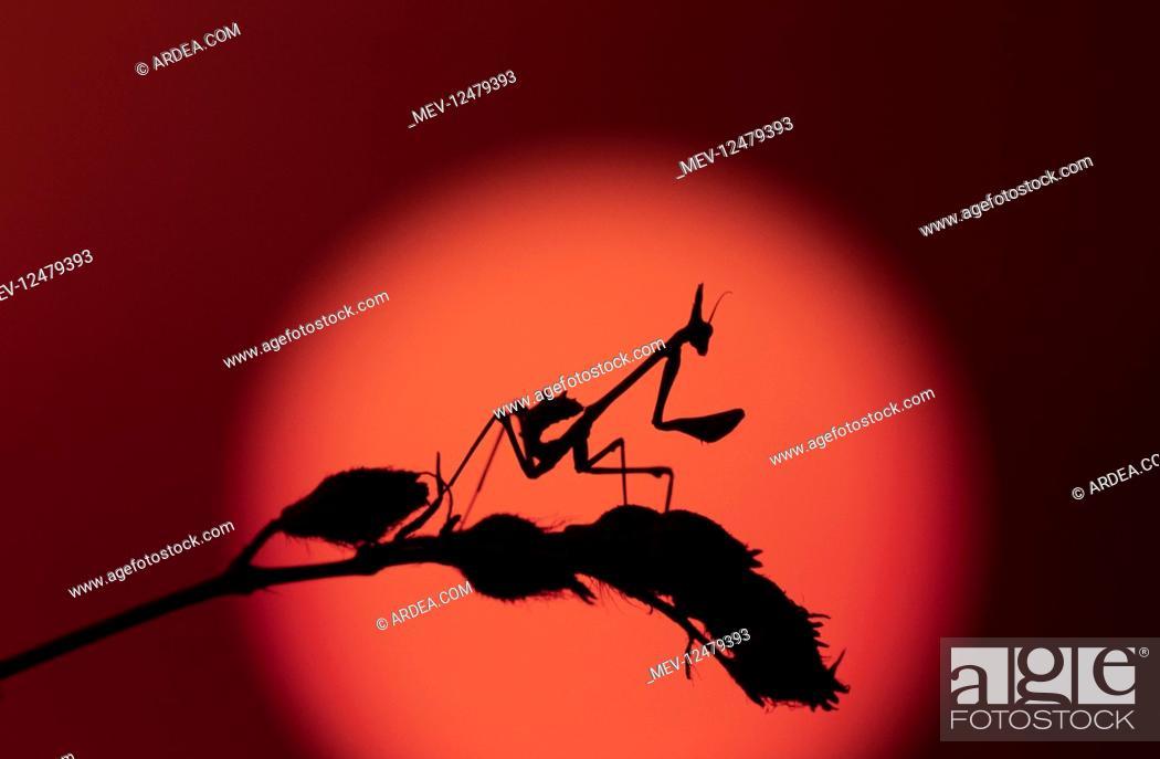 Stock Photo: Conehead mantis, Empusa pennata, waiting for.