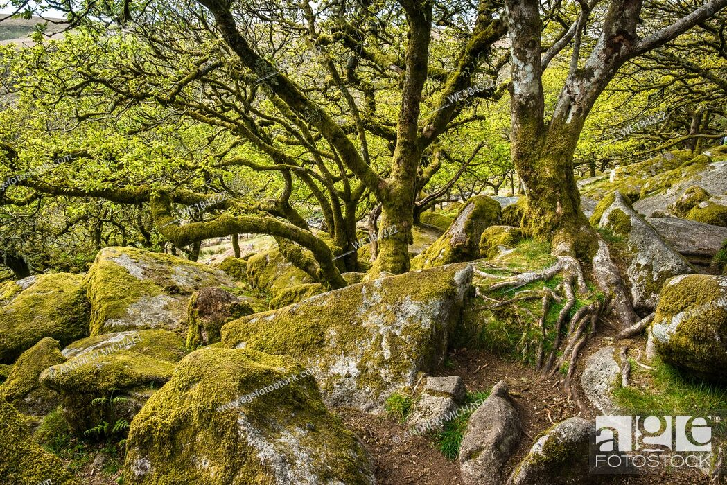 Stock Photo: Sessile oaks and moss in Wistman's Wood Dartmoor Devon England UK GB British Isles.