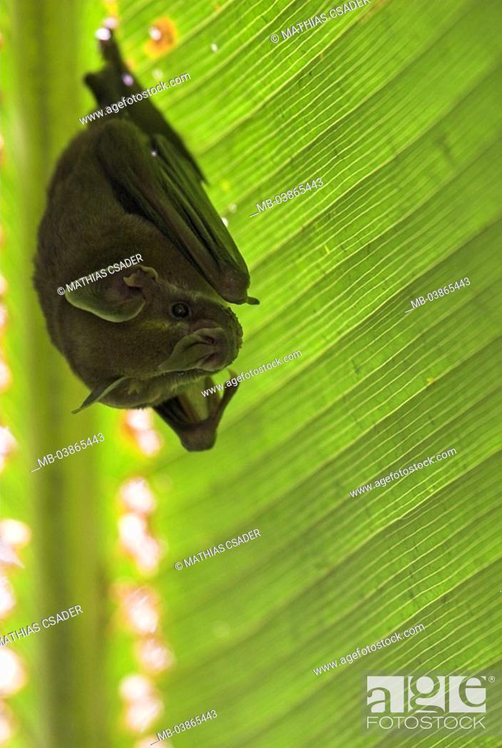 Stock Photo Plant Leaf Zeltbauende Bat Uroderma Bilobatum Costa Rica Puntarenas Can Brazos Jungle Rain Forest Nature Plants Wildlife