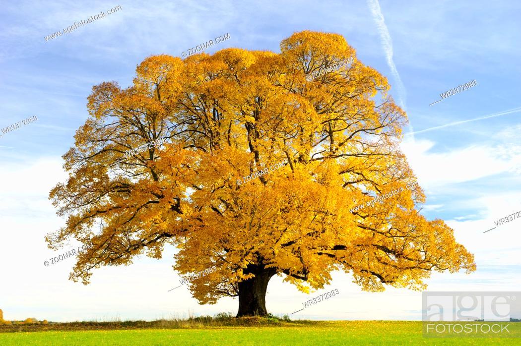 Stock Photo: single big old linden tree at autumn.