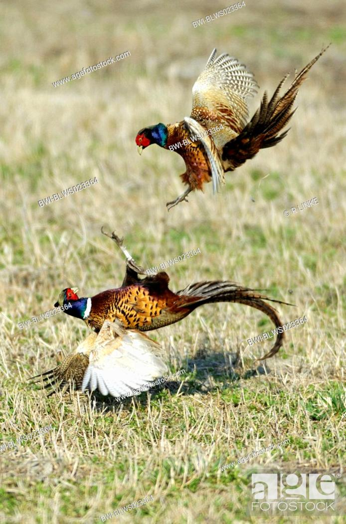 Stock Photo: common pheasant Phasianus colchicus, two cocks fighting.